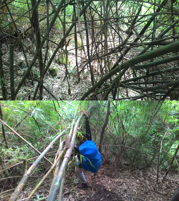 So many bamboos in this semi-virgin trail
