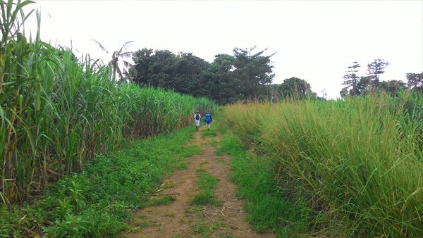 A walk among the sugarcanes