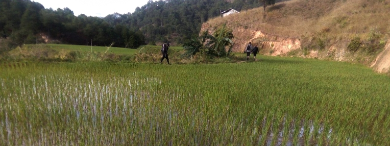 The rice plantations in Lusod village